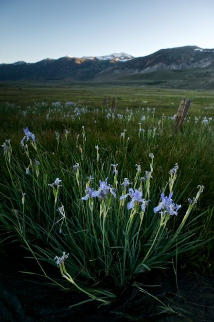 Lilies on the Conway Ranch, Mono Basin