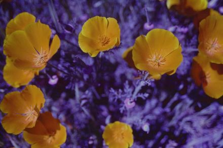 California Poppies (Cross Processed)