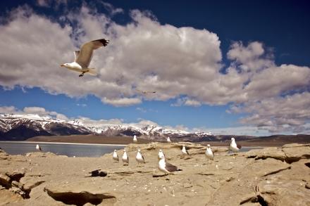 California Gulls, Mono Lake