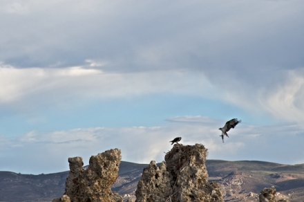 Osprey bringing a fish to its mate