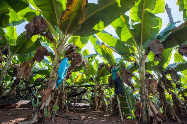 Woman working in a banana plantation near the end of the trek