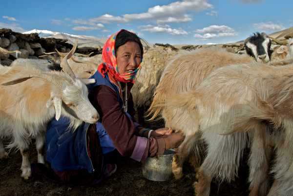Milking the goats on Ladakh's Changtang plateau