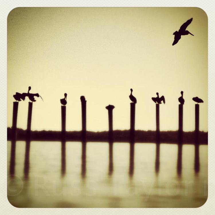 Pelicans, Chokoloskee, Everglades