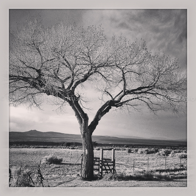 Tree, Taos, New Mexico