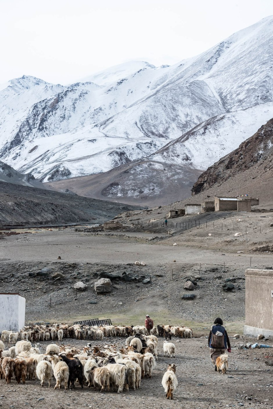 Tibetan goat herders lead their flocks to pasture as the day dawns.
