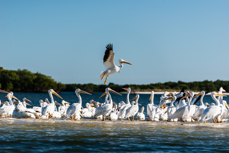 A White Pelican comes in for a landing