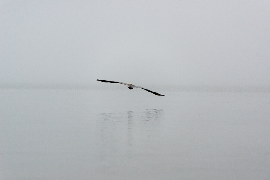 A Brown Pelican takes to flight on a foggy morning