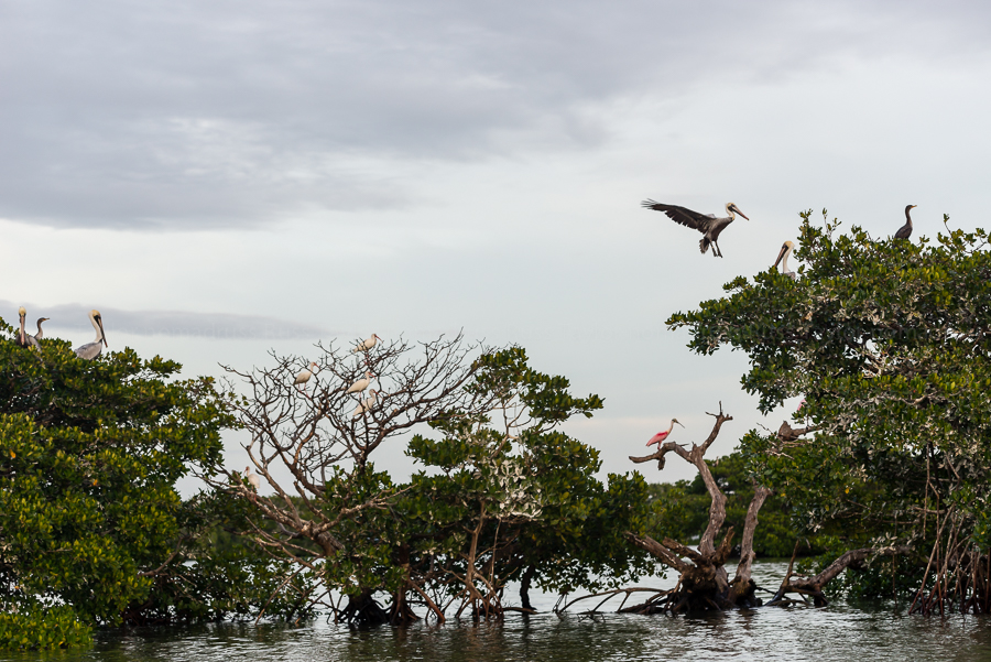A Brown Pelican comes in for a landing in a rookery shared with ibis, cormorants and a roseate spoonbill