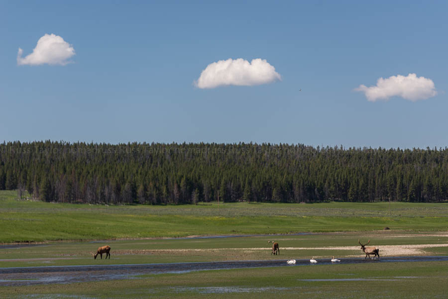Elk and trumpeter swans mingle in the Hayden Valley