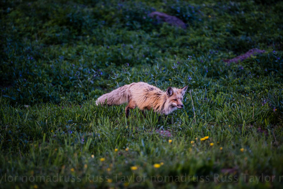A red fox spies something in the grass