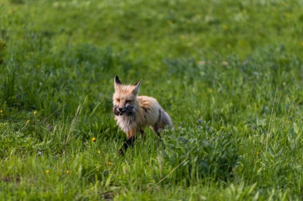 A happy red fox after the successful hunt...